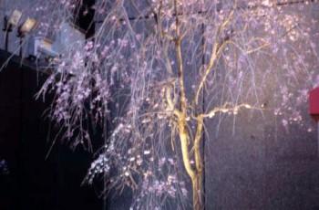 銀座 ミキモト本店サクラディスプレー '97『日本ディスプレー大賞』